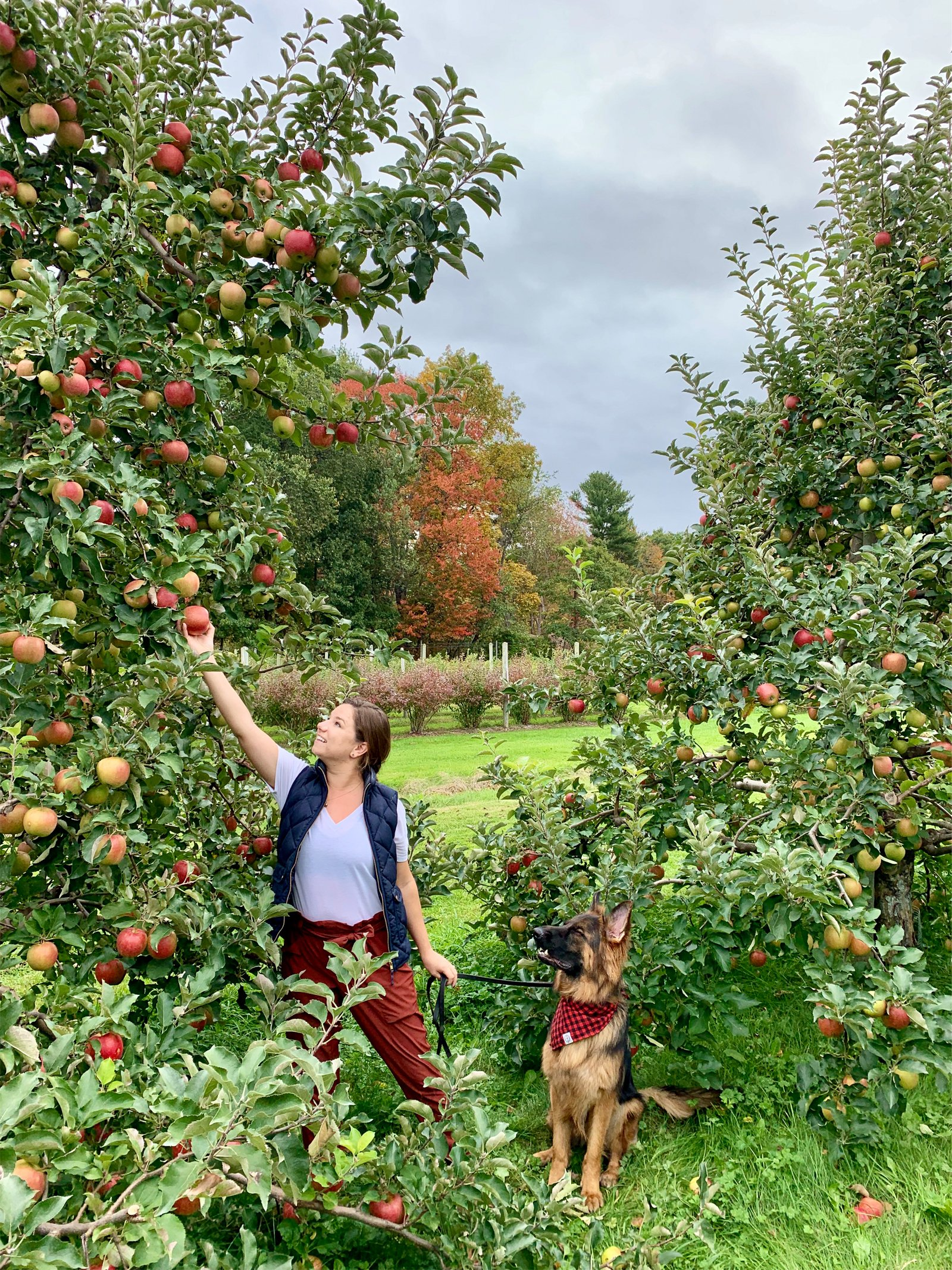 a woman picking apples with her dog at an orchard in Harvard, Massachusetts