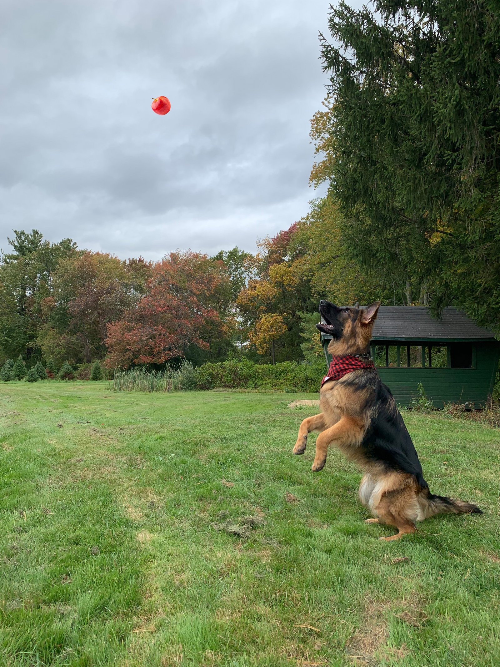 a dog jumping for an apple at a dog-friendly apple orchard in Massachusetts