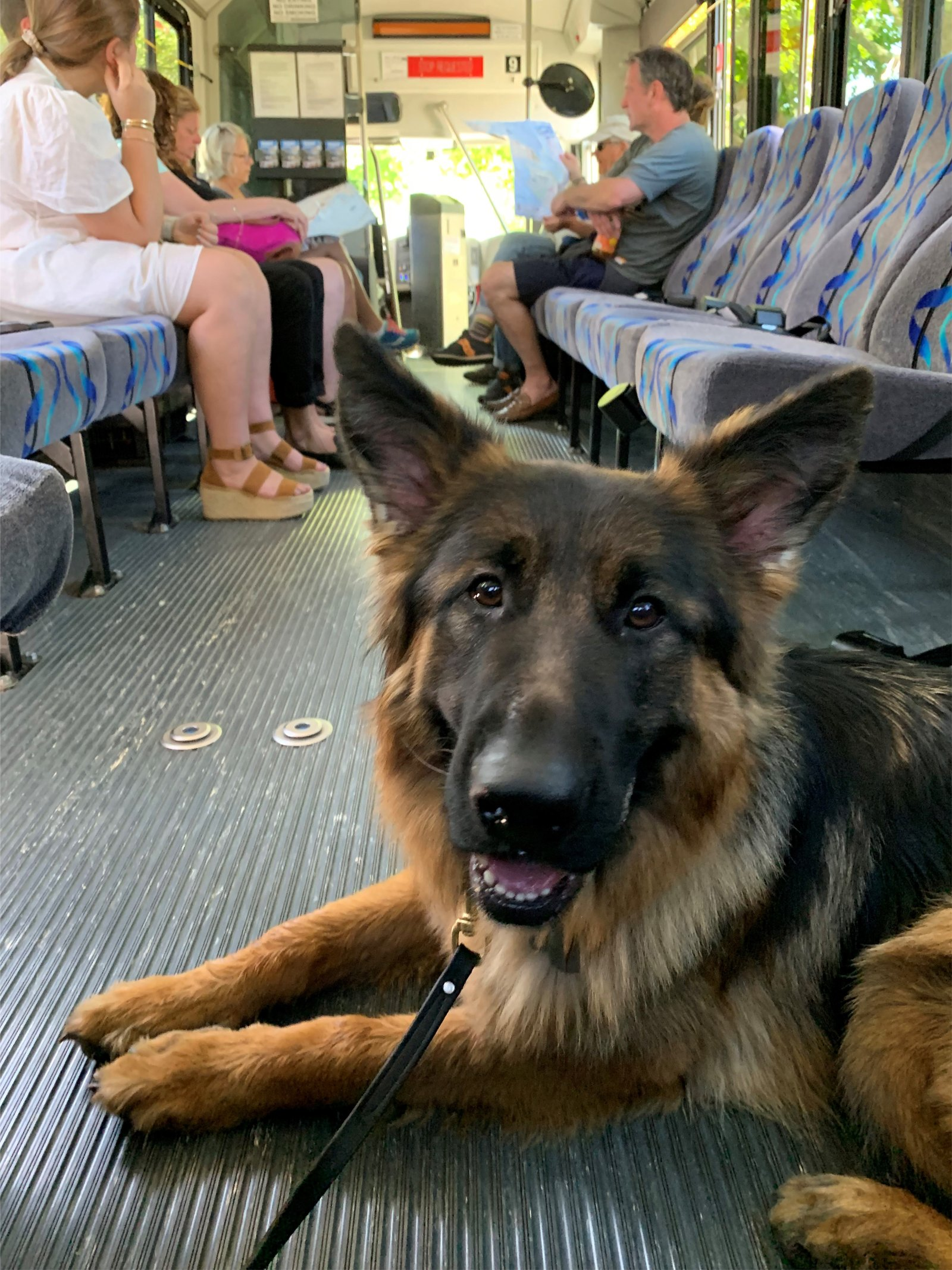 dog riding the bus in nantucket