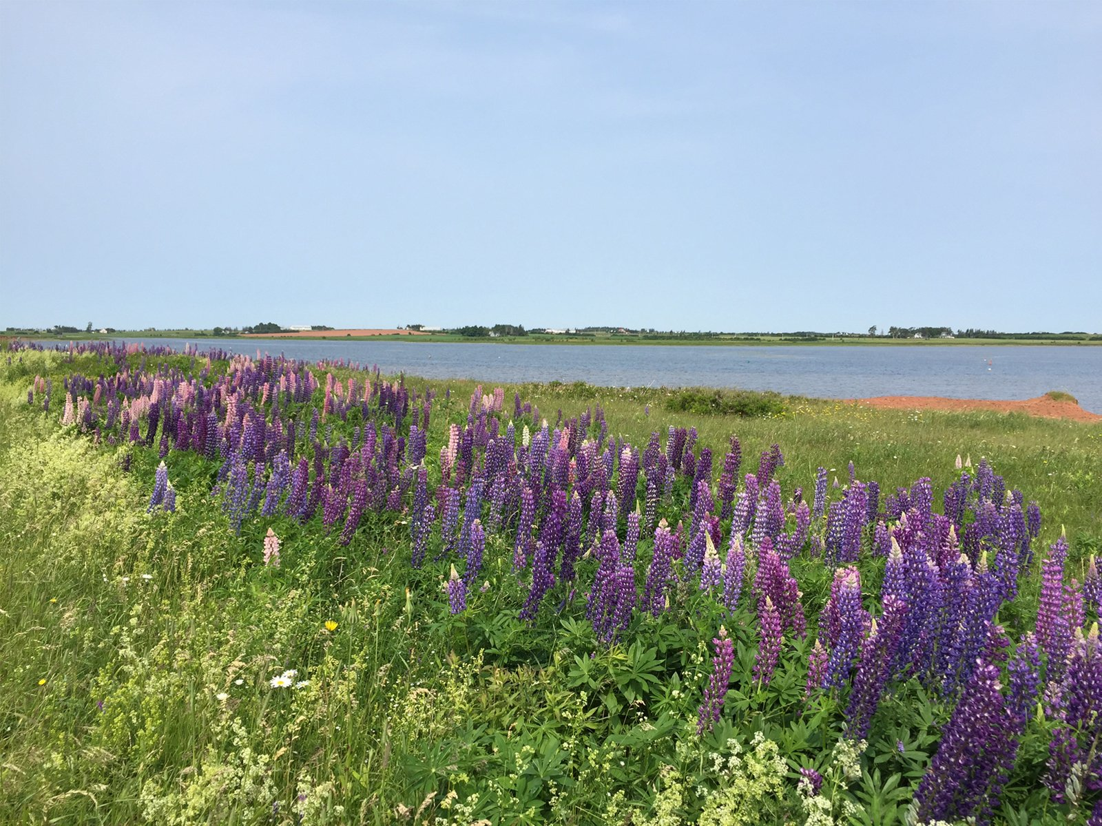 Purple lilacs in Prince Edward Island, Canada