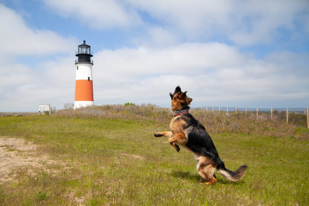dog jumping in front of the Sankaty Lighthouse in Nantucket