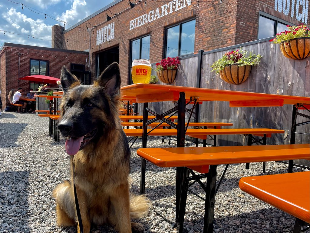a German Shepherd dog at the dog friendly outdoor beer garden at Notch Brewery and Tap Room in Salem, Massachusetts