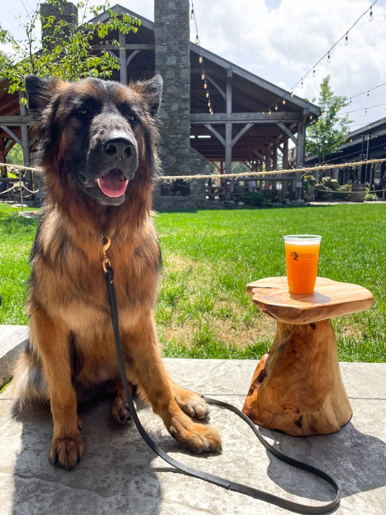 a dog next to a cup of beer at the dog friendly outdoor beer garden at Tree House Brewing Company in New England